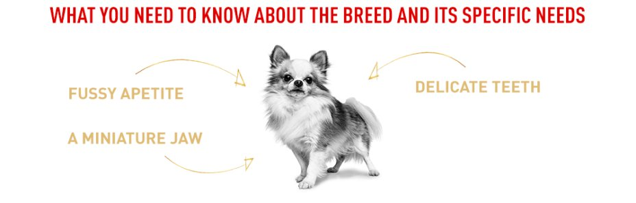 The specific needs of the Chihuahua